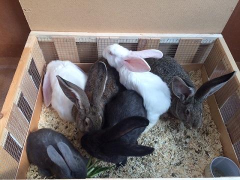 ヨーロッパより大型ウサギ、希少ウサギ各種到着しました2