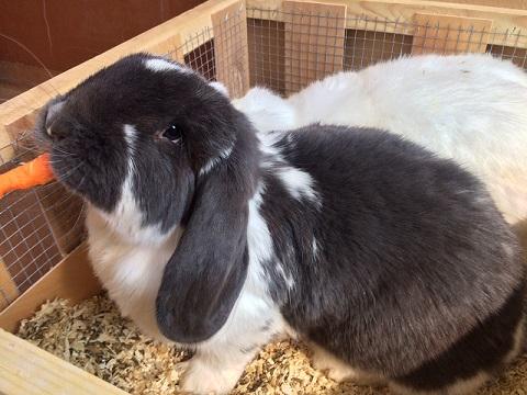 ヨーロッパより大型ウサギ、希少ウサギ各種到着しました4