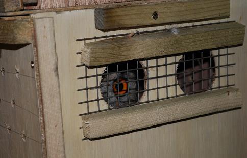 ブリーディング用 5歳前後猛禽類到着。2