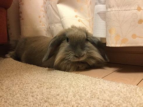 北京からのウサギの輸入1