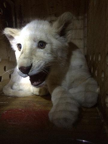 動物園様からご依頼のホワイトライオンが到着しました1