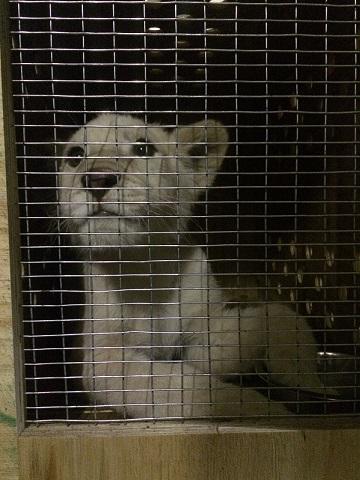 動物園様からご依頼のホワイトライオンが到着しました2