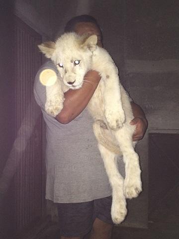 動物園様からご依頼のホワイトライオンが到着しました3