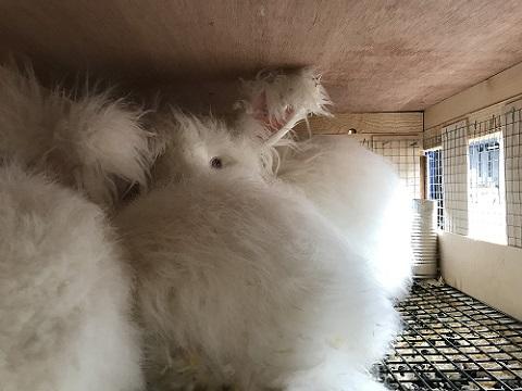 EUCBの大型ウサギ各種到着しました2