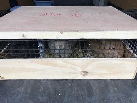 EUCBの大型ウサギ各種到着しました3