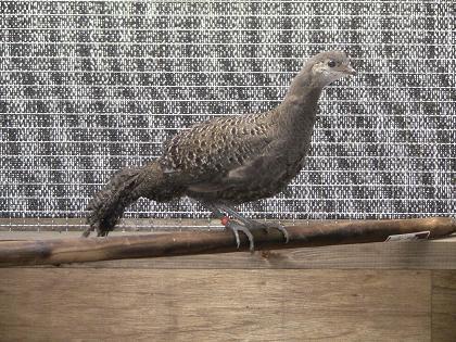Exotic pheasants3