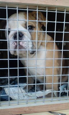 輸入代行にて、チャンピオン犬イングリッシュブルドッグ直子ぞくぞく輸入。2