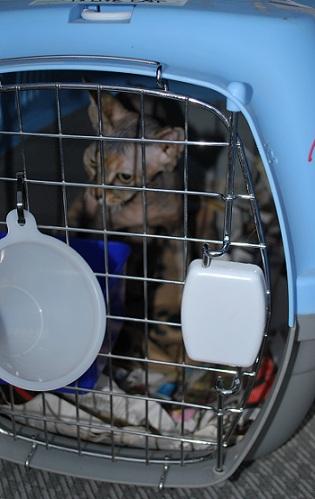 ご注文の三毛猫スフィンクス到着です。1