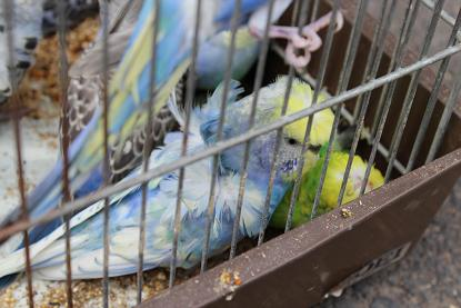 "Japanese Crested Budgerigar "" HAGORMO""3"