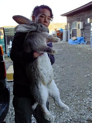 ヨーロッパからフレミッシュジャイアントなど、ウサギの到着です1